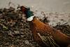 Pheasant (mlomax1) Tags: 80d avian cymru eos80d pheasant spinnies wwwt wales bird canon northwales twitcher wildlife