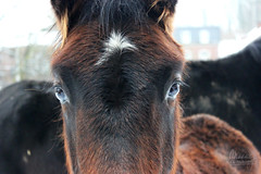 (Maddilly M.G.) Tags: horse horses cheval chevaux beautiful animaldomestique animal animals eyes douceur tranquilité tranquility regard look nature extérieur exterior dehors outside outdoor promenade rencontre caresse observation black noir pelage brun brown poils neige snow enneigé winter hiver