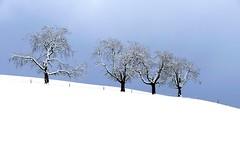 Vier Obstbäume im Winter (Martinus VI) Tags: grosshöchstetten möschberg winter winterlandschaft hiver schnee nieve snow neige kanton de canton bern berne berna berner bernese schweiz suisse svizzera suiza switzerland y150222 martinus6 martinusvi