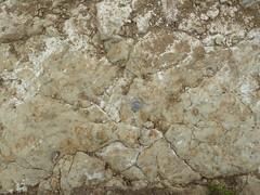 LCWP-TraceFossils (ArgyleMJH) Tags: geology sedimentary tracefossil burrows marine paleontology miocene vaquerosformation topangaformation lagunacoast wildernesspark lagunabeach sanjoaquinhills orangecounty california mudstone invertebrates fossils gastropods