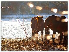 horses in winterlight (Wilma van Oorschot) Tags: wilmavanoorschot angelphotography olympusem5 olympusomde5 leicadgmacroelmarit45f28 winter snow horses nature outdoor