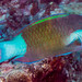 Bridled Parrotfish, terminal phase - Scarus frenatus