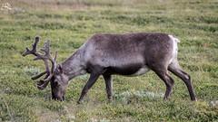 Reindeer (Ha-Tschi) Tags: pentax ks2 tamron 70300mm norway jotunheimennationalpark jotunheimen reindeer rangifertarandus