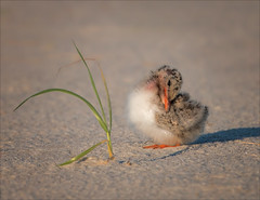 Arthur (Kathy Macpherson Baca) Tags: explore atlantic terns shorebirds animal animals bird birds ave aves chick tern beach feathers shore sand ocean fishing fly swoop baby nature wildlife world planet earth longisland downy protect babies egg dunes