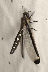 Stilbopteryx sp. (dhobern) Tags: wyperfeld vic australia january 2017 neuroptera myrmeleontidae stilbopteryginae stilbopteryx