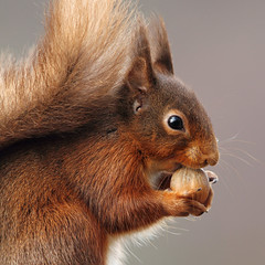 Mmmmm nomnomnom (Pog's pix) Tags: squirrel redsquirrel mammal red cute closeup square animal wildlife scotland kilchrenan hazelnut eating nature