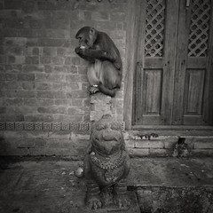 Rhesus Macaque Monkeys are sacred at Swayambhunath (chinese johnny) Tags: himalayan ambient reallifenotposed asian nepal nepali streetphotography documentaryphotography documentary vscocam vsco instagram iphone iphoneonly iphone5c square squareformat color kathmandu kathmanduvalley swayambhunath monochrome flickrunitedaward