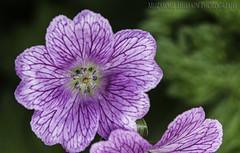 Wild Flower (Muzammil (Moz)) Tags: flower macro wildflower tamron180mmmacro muzammilhussain canon70d mozhapsyahoocouk