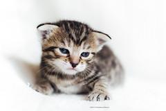 (Katarina Drezga) Tags: cats pets cute cat kitten feline kittens felines cubs domesticcat petphotography nikkor50mm18g nikond3100