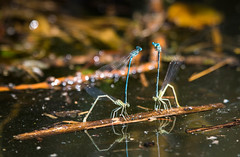 Odonata (simon zalto) Tags: lake macro water canon insect is dragonfly 100mm mating libelle insekten markro walleyes