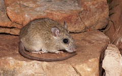 Rock Rat (Zyzomys argurus) (Gus McNab) Tags: rock rat zyzomys argurus