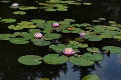 DSC_0060 (Duyguuud) Tags: lotus havuz nilfer ankaraniversitesi