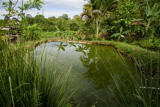 A small-scale Mozambique tilapia aquaculture pond, Rafrafu, Central Kwaraiae, Malaita Province, Solomon Islands. Photo by Filip Milovac.