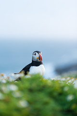 Puffin Sunset Low Light Portrait (Rob'81) Tags: uk light sunset sea wild cliff west nature wales island wildlife south low 85mm trust puffin f18 pembrokeshire wick the skomer