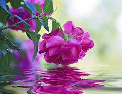 Touched Lightly (Synapped) Tags: pink flower reflection rose flood reflect pear second plug plugin flaming