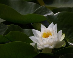 waterlily,vanDusen garden, Vancouver, BC (gks18) Tags: park white floral vancouver contrast canon garden waterlily lily bloom vandusengarden canon7d