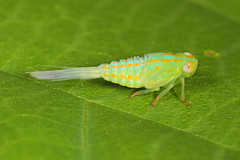 Day 190 - Planthopper nymph - Thionia simplex, Woodbridge, Virginia (judygva) Tags: