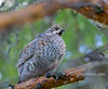 Hazel Grouse (Bonasa bonasia) (pjayphotos) Tags: bird finland grouse hazelgrouse bonasabonasia hazelhen