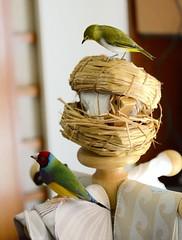 DSC_7677 (Jenny Yang) Tags: pet bird lady finch gouldian