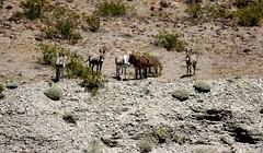 IMG_0012-2.jpg (DrPKHouse) Tags: arizona unitedstates loco burro goldenvalley bullhead