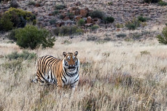 _S7A3201-small (buddy4344) Tags: africa tiger jv freestate karoo tigercanyons johnvarty
