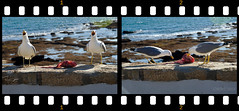 Singing before launch (rmtron) Tags: ocean sea espaa birds spain eating seagull andalucia pajaros cadiz gaviota