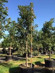 100g Burr Oak 8/7/15