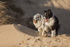 Merry Christmas & Happy New Year (redshift1960) Tags: duke gibson bluemerle bordercollie dog sand dunes canon 5dmk3 200mm