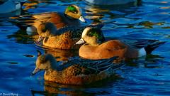Widgeons-Esquimalt Lagoon (david byng) Tags: esquimaltlagoon beach winter vancouverisland pacificocean birds canada britishcolumbia colwood 2017