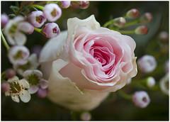 Tenderness ... (Jan Gee) Tags: rose roos roze pink heart tender tenderness flower bouquet bunch boeket