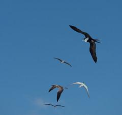 In the air (Indigo & Mandarynn) Tags: marinebirds oiseauxlarins birding wilderness wings frégate fou strene tern fly wingspan envergure