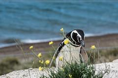 Pinguino (cmarga28) Tags: pingüino animal ave frío gelido argentina penínsulavaldés mar naturaleza natural cerca travel color colorido photography photographer nikon digital raw right belleza beauty beautiful