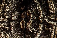Fungi on a Fence (benjaminvelesig) Tags: abstract fungi macro