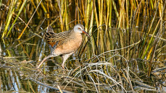 Virginia Rail (Bob Gunderson) Tags: alamedacounty arrowheadmarsh birds california eastbay northerncalifornia rails ralluslimicola virginarail