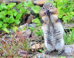DSC_0666 (rachidH) Tags: squirrel écureuil rodents goldenmantledgroundsquirrel spermophiluslateralis callospermophiluslateralis spermophileàmanteaudoré écureuilterrestreàmanteaudoré spermophileàmanterayée logan pass loganpass westglaciernationalpark montana rockymountains mt rachidh nature