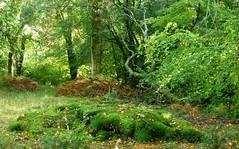 New Forest NP, Hampshire, England (east med wanderer) Tags: england uk hampshire lyndhurst newforestnationalpark woodland forest beech oak holly worldtrekker