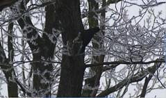 Dryocopus martius - Picidae - Pic noir - Black Woodpecker - Forêt Domaniale de Rambouillet - Saint-Léger-en-Yvelines - Yvelines - Île-de-France - France (vanaspati1) Tags: vanaspati1 oiseaux nature animaux arbres trees dryocopus martius picidae pic noir black woodpecker forêt domaniale de rambouillet saintlégerenyvelines yvelines îledefrance france
