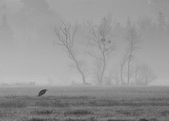 Monsieur Héron I : In Explore (erictrehet) Tags: oiseaux birds loireatlantique nikkor d610 70200 sauvage paysage wild landscape