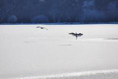 Herons (Hugo von Schreck) Tags: hugovonschreck outdoor lake see bird vogel heron reiher grebenhain hessen deutschland germany canoneos5dsr tamron28300mmf3563divcpzda010