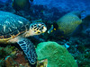 Turtle & French Angel Fish (nick_nack_) Tags: palancargardens scuba diving reef cozumel canons90 angelfish turtle