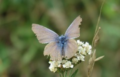 Butterflies of Bulgaria: Common blue at the end of its life (afgevlogen Icarusblauwtje) (Elisa1880) Tags: vlinder butterfly bulgarije bulgaria insect icarusblauwtje common blue polyommatus icarus afgevlogen rila monastery mountains rilagebergte bergen