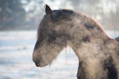 Paard brrr (Kesseljan) Tags: paard horse adem winter breath koud cold