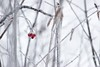 Red Berries (melleus) Tags: red berries winter frost frozen outdoors nature white cold nikon d200