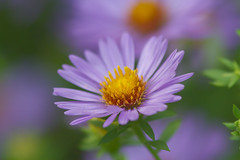 _MG_0674ee (zoomclic) Tags: canon closeup colorful red green garden yellow purple plant outdoors orange nature dof dreamy aster 7d ef200mmf28lusm flower foliage flowers trio bokeh bright happy serene zoomclicphotography