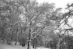Woods of Kamui (threepinner) Tags: mtkamui mountainsnaps tree forest woods snow winter pentax pentaxm mzm 28mm f35 kodak microfilm imagelink hq selfdeveloped cloudy asahikawa hokkaidou hokkaido northernjapan japan 神居山 旭川 深川 北海道 北日本 カムイスキーリンクス
