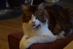 Curious stare (Birdiebirdbrain) Tags: mainecoon cat animalphotography feline dean nikon nikond3300 tamron tamron18270mm