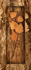 Autumn (patrick.verstappen) Tags: autumn january texture textured twitter textuur leafs photo picassa pinterest pat picmonkey ipernity ipiccy imagine inspiration nikon d7100 sigma belgium gingelom google garden wood