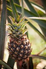 Cuba - Viñales (Cyrielle Beaubois) Tags: 2016 cuba cyriellebeaubois décembre viñales ananas plant