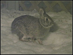 Quiet Rabbit (bigbrowneyez) Tags: rabbit hare quietrabbit sweet adorable animal ears bunny furry fuzzy snow winter neve deck night notte dark mydeck mygarden pretty miogiardino fun nature natura january inverno hospitality seeds food eating
