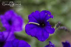 (creationartistcoPHOTO) Tags: purple flower caterpillar garden nature green